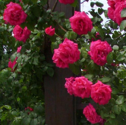 Pink roses - Here are more roses i photographed a couple of days ago.