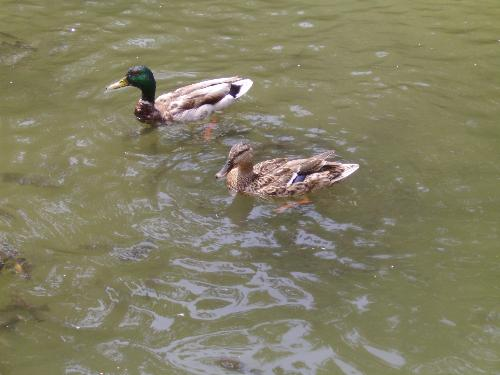 Duck family and fish - Here is a duck couple and lots of fish looking for seed bread.