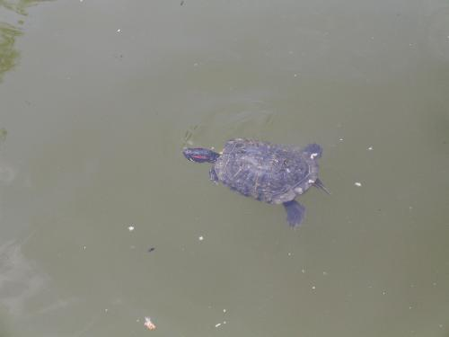 Turtle in the waters - The turtles were raising their heads from time to time to enjoy the sun in the park.