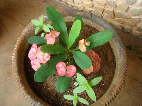 Baby euphorbia - This plant is grown either from branches that the mother plant has given out or from the inflorescence.