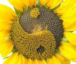 Yin-Yang Sunflower - Balance Reflected in all its Beauty