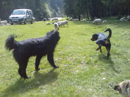 Romanian shepherd Corb - A new breed originated in Romania. It hasn't been recognized by FCI yet.