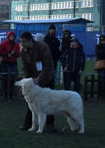 Hungarian Shepherd Kuwasz - In the show ring at CAC Brasov