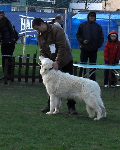 White Hungarian Shepherd - In the show ring at CAC Brasov