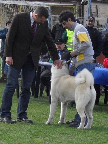 American Akita - In the show ring at CAC Brasov