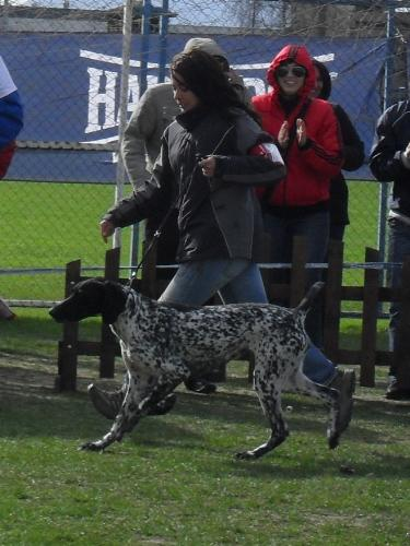 German Pointer - In the show ring at CAC Brasov 2011