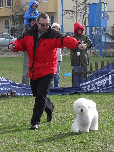 Bichon a Poil Frise - In the show ring at CAC Brasov