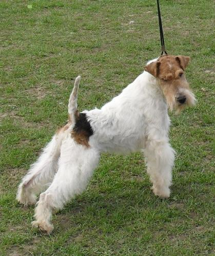 Fox Terrier - In the show ring at CAC Brasov 2011