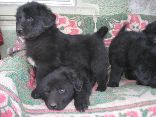 Romanian shepherd Corb - Ciobanesc negru de Dambovita is the original name of this breed.