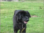 Romanian shepherd Corb - Ciobanesc negru de Dambovita is the original name of this breed.