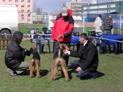 Airedales - Being judged in the show ring at CAC Brasov 2011