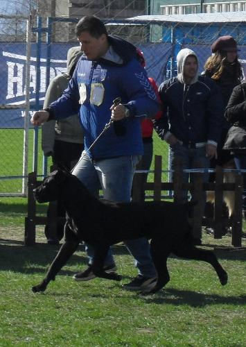 Cane Corso - Being judged in the show ring at CAC Brasov 2011