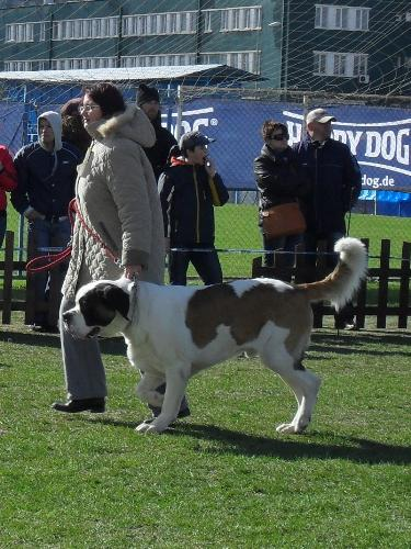Saint Bernard - Being judged in the show ring at CAC Brasov 2011