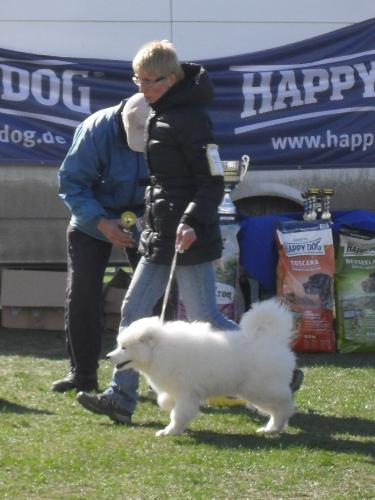 Samoyed - Being judged in the show ring at CAC Brasov 2011