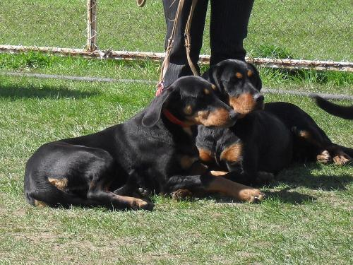 Transylvanian Hounds - Waiting to enter the show ring at CAC Brasov 2011