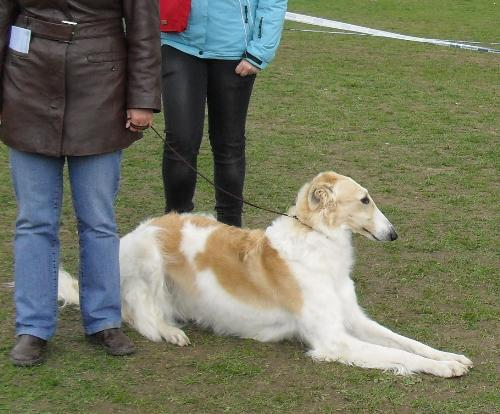 Borzoi - Waiting for his turn to enter the show ring at CAC Brasov 2011