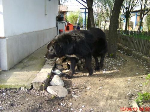 Romanian shepherd Corb - A Romanian new breed