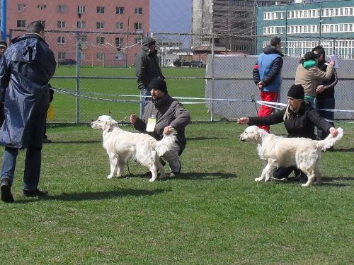 Golden Retrievers - Being judged in the show ring at CAC Brasov 2011