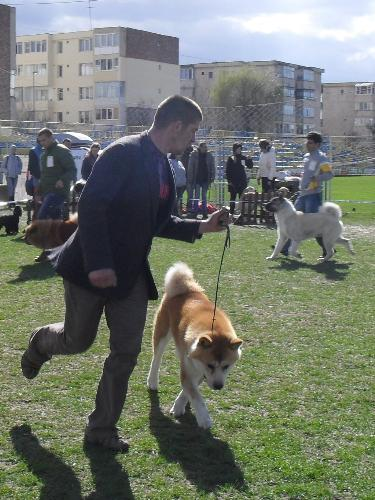 Akita - Being judged in the show ring at CAC Brasov 2011