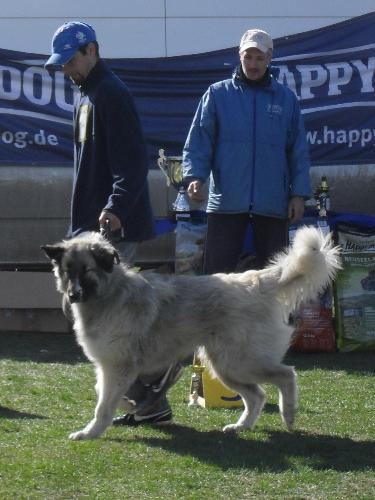Romanian Shepherd - Carpatin - Being judged in the show ring at CAC Brasov 2011