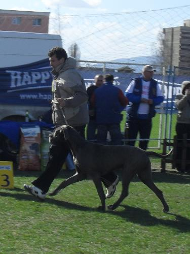 Great Dane - Being judged in the show ring at CAC Brasov 2011