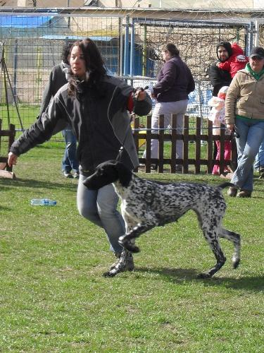 German Pointer - Being judged in the show ring at CAC Brasov 2011