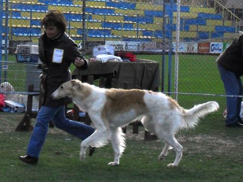 Borzoi - Being judged in the show ring at CAC Brasov 2011