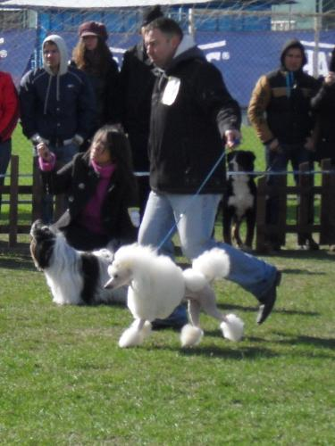 Poodle - Being judged in the show ring at CAC Brasov 2011