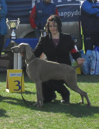 Weimaranner - Being judged in the show ring at CAC Brasov 2011