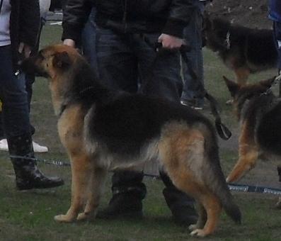 German Shepherd - Waiting to enter the show ring at CAC Brasov 2011