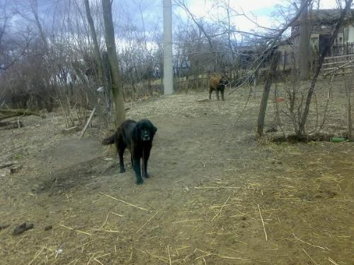 Romanian shepherd Corb - A strong and beautiful shepherd