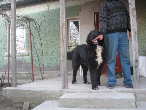 Romanian shepherd Corb - Hundred years old breed that is about to be recognized by FCI