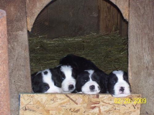 Romanian shepherd Carpatin puppies - Beautiful puppies