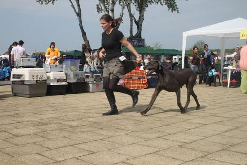 Great Dane - A beautiful and distinguished breed