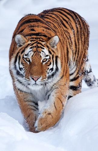 tiger - Powerful tiger looks