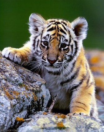 tiger  - cute baby tiger