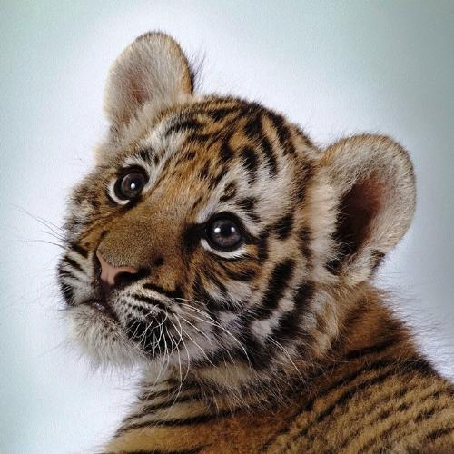 tiger  - baby tiger prayer