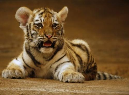 tiger  - baby tiger full picture