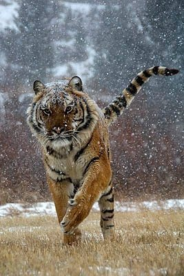 tiger  - tiger in snow
