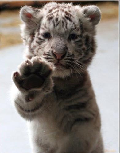 tiger  - Baby white tiger