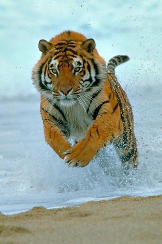 tiger  - tiger jumping fastly