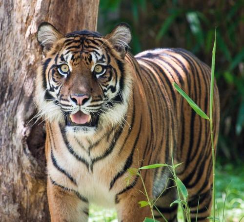 tiger  - tiger staring at the camera