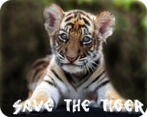tiger  - save the tigers