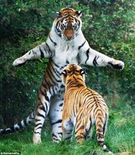 tiger  - tiger's play
