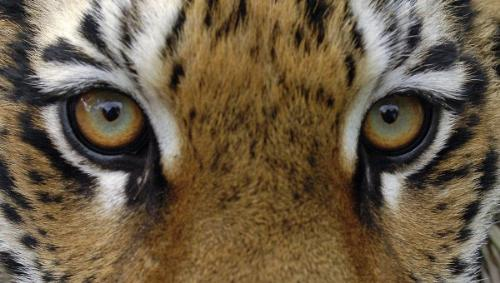 tiger - tiger eyes close shot