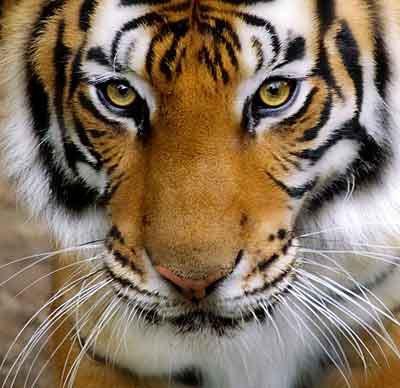 tiger - tiger face close shot