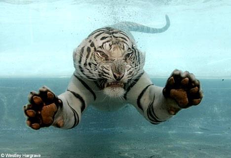 Tiger - swimming white tiger