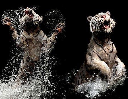 tiger - tigers play