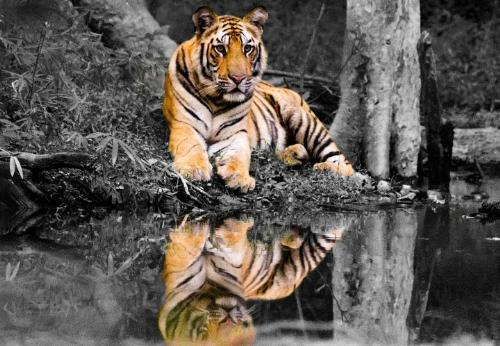 tiger - tiger with shadow in water