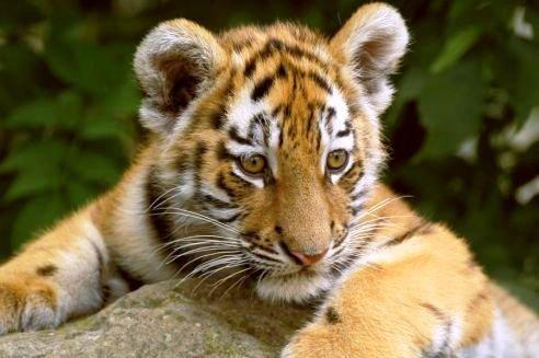 tiger - tiger cub